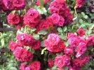 Wawele & Jan Wojdak  - Nie szkoda róż