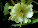 Kwiat jednej nocy - Alibabki